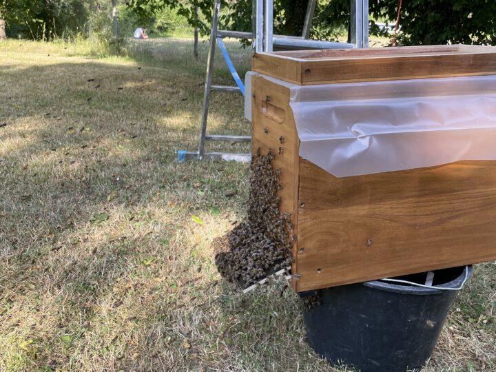 Zweiter Bienen-Schwarm gefangen